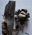Dry mushroom.png