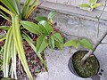 Drypetes aff. lasiogyna (F.Muell.) Pax and K.Hoffm. (AM AK293635-2).jpg