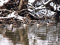 Ducklings glidin' on the frigid Cuyahoga River.jpg