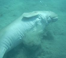 Dugong on its side stirring up sand