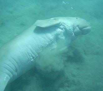 Dugong - Dugong on the sea floor at Marsa Alam, Egypt