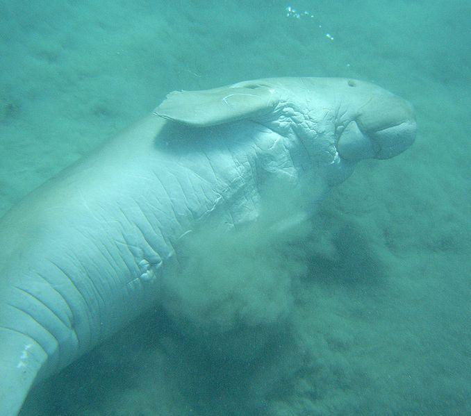 File:Dugong - underside.jpg