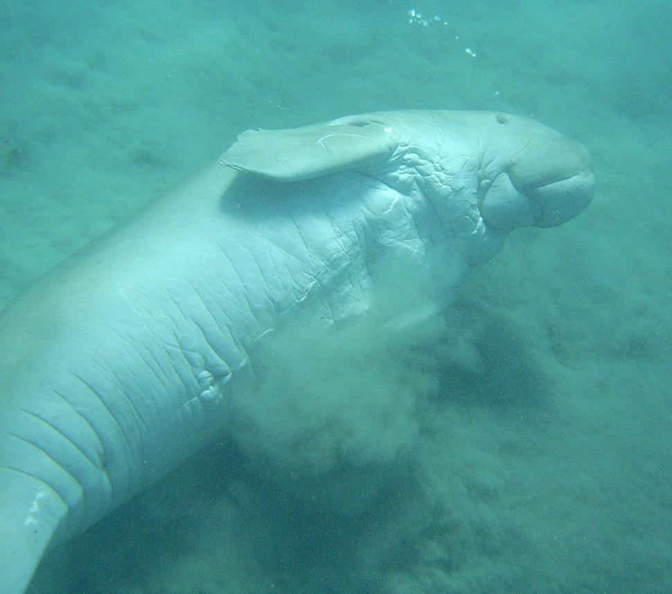Dugong - underside