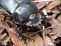 Dung Beetle (Scarabaeus sp.) close-up (11771025914).jpg