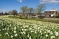 Dyce daffodils I - geograph.org.uk - 1247178.jpg
