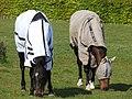 Eccup Horse - panoramio.jpg
