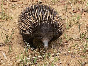 An Australian short beaked Echidna