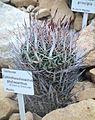 Echinofossulocactus phyllacanthus - Botanischer Garten, Dresden, Germany - DSC08861.JPG
