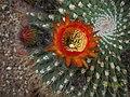 Echinopsis bruchii (3496883441).jpg