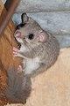 Edible dormouse - Relmuis - Glis glis.jpg