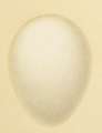 Eggs of British Birds Seebohm 1896 Plate48 Dryocopus martius.png
