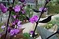 Egyptische slingerboon (Lablab purpureus L. sweet, Phaseoli Aethiopici) Hortus Botanicus Leiden NL.j.jpg