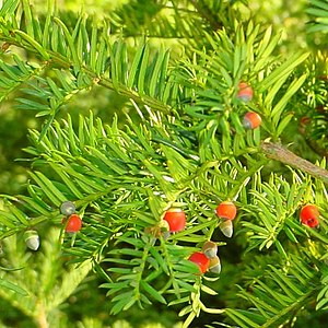 Kingdom of Asturias - The yew tree is still very important in Asturian folklore, where it stands as a link to the afterlife and is commonly found planted beside churches and cemeteries.