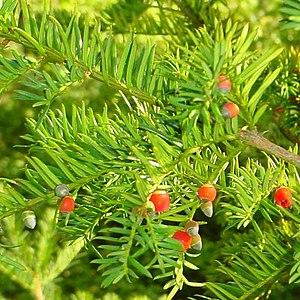 Blätter und Arillus der Europäischen Eibe (Taxus baccata)