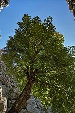 El árbol de la Casa de Neu de Massanella.jpg