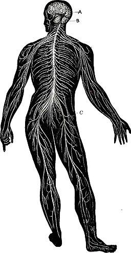 Elementary anatomy, physiology and hygiene for higher grammar grades (1900) (14595172130)