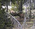 Elk in Yellowstone National Park.JPG