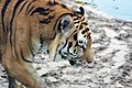 Em - Panthera tigris altaica 7.jpg