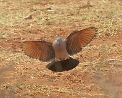 Emerald-spotted Wood Dove (Turtur chalcospilos).jpg