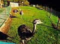 Emu Family - panoramio.jpg
