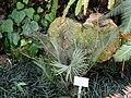 Encephalartos cycadifolius - Botanischer Garten München-Nymphenburg - DSC08067.JPG