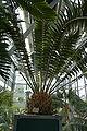Encephalartos transvenosus 002.JPG