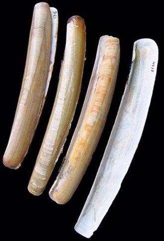 Bivalvia - Empty shells of the sword razor   (Ensis ensis)