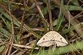 Entomopteryx rubridisca (37371437595).jpg