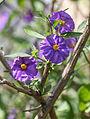 Enzianstrauch (Solanum) (15198169711).jpg