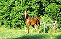 Equus Arabian1.JPG