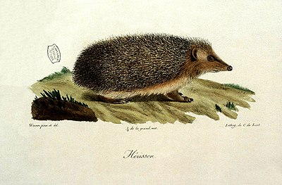 Erinaceus europaeus hérisson Cuvier Lasteyrie BNF Gallica.jpg