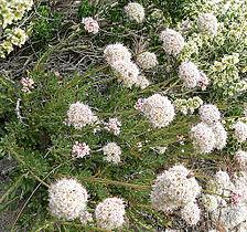 Eriogonum fasciculatum 3.jpg