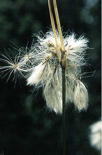 Eriophorum viridicarinatum.jpg