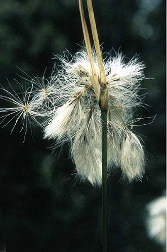 Eriophorum viridicarinatum - Image: Eriophorum viridicarinatum
