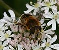 Eristalis nemorum (female) - Flickr - S. Rae (5).jpg