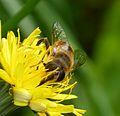 Eristalis tenax - Flickr - gailhampshire (9).jpg
