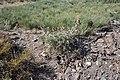 Eryngium duriaei teleno.jpg
