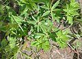 Eryngium foetidum (18933722178).jpg