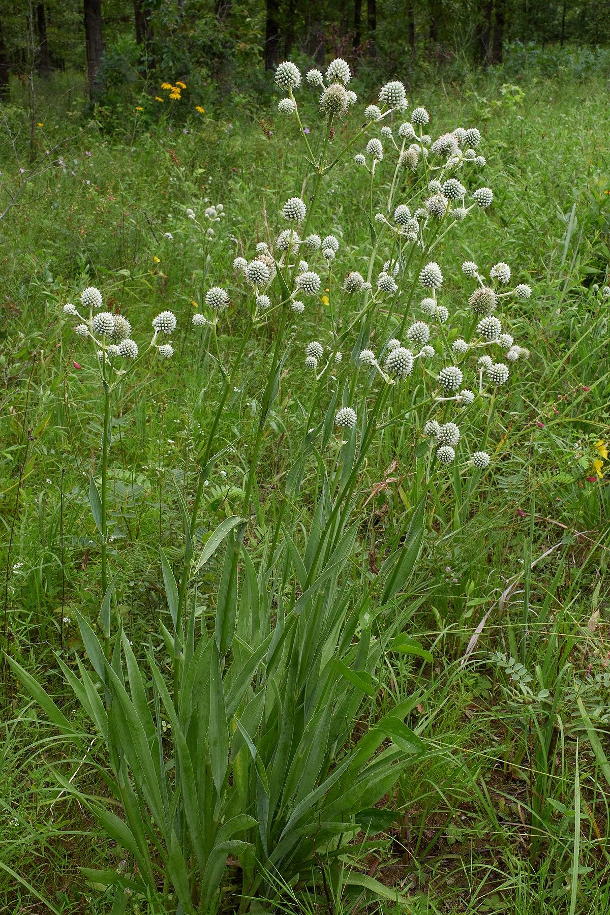 Eryngium yuccifolium RATTLESNAKE MASTER Flower Seeds!