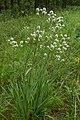Eryngium yuccifolium.jpg