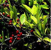 A coca faz parte da tradição da Bolívia.