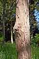Eucalyptus bridgesiana.jpg