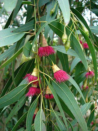 Eucalyptus - Eucalyptus leucoxylon var. 'Rosea' showing flowers and buds with operculum present