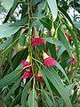 Eucalyptus leucoxylon1.jpg