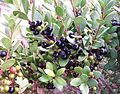 Euclea racemosa - Sea Guarrie Tree - berries 2.JPG
