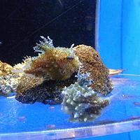 Eumicrotremus taranetzi by OpenCage.jpg