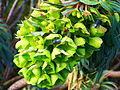 Euphorbia characias subsp. wulfenii in Jardin des Plantes 05.JPG