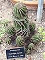 Euphorbia horrida at Chelsea Physic Garden.jpg