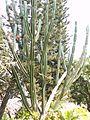 Euphorbia ingens E.Mey. ex Boiss. (423935493).jpg
