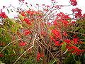 Euphorbia pulcherrima (Barlovento) 08.jpg